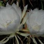 Sejarah Mistis Bunga Wijaya Kusuma