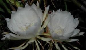 bunga wijaya kusuma bertuah