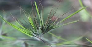 rumput bulu perindu asli