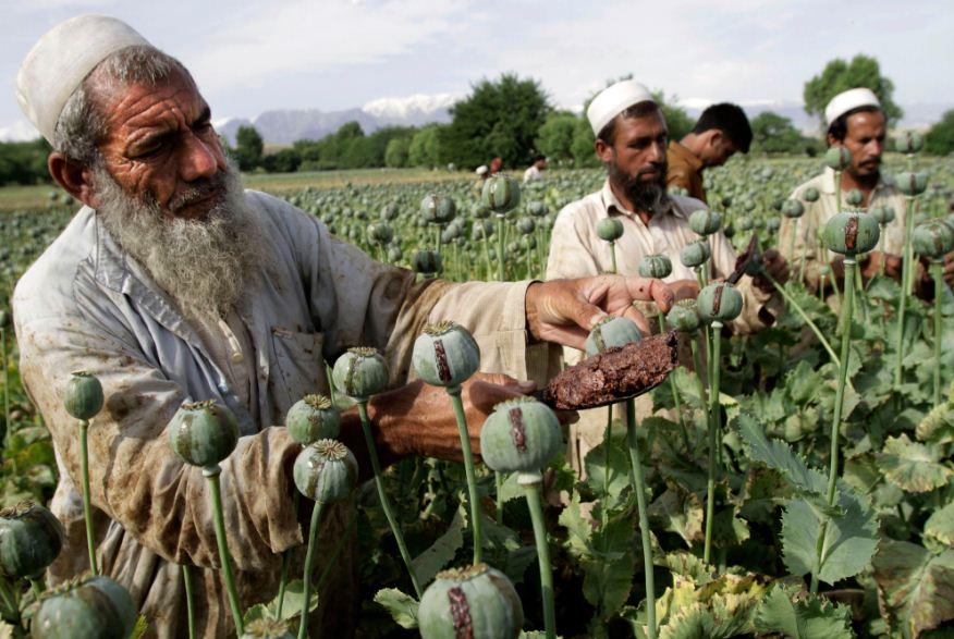 ladang-opium-candu-di-tanah-jawa