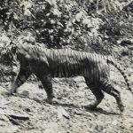 Mbah Loreng Sang Harimau Jawa