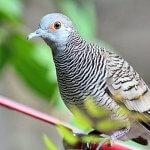 Mitos Burung Perkutut – Kenali 5 Jenis Perkutut Bertuah