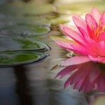 Sekar Tunjung – Filosofi Bunga Teratai