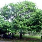Pohon Dewandaru, Mistis Kayu Pembawa Wahyu