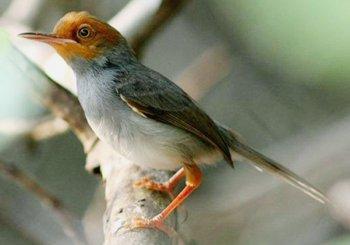Primbon Jawa – Makna Isyarat Burung Prenjak